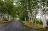 Paper Birch trees on paved lane to a covered bridge in New Brunswick