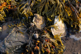 Oysters snails and bladder wrack clinging to rocks at low tide sunset at Port Hood Nova Scotia
