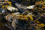 Oysters and seaweed clinging to rocks at low tide sunset at Port Hood Nova Scotia