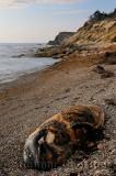 Carcass of beached Long Fined Pilot Whale on Pillar Rock Beach Cabot Trail Cape Breton