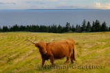 Purebred Highland Cattle cow at Iona Cape Breton with Bras dOr Lake