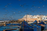 A flock of seagulls near fishermen cleaning their catch with blue boats and Essaouira ramparts