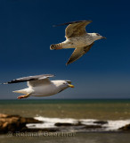Close up of two seagulls flying by Sqala du Port on the Atlantic Ocean at Essaouira Morocco