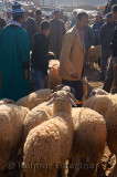 Sheep for sale in the market of Ait Ourir Morocco for sacrifice at Eid Al Adha