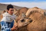 Berber boy tending to a young dromedary among camel herd in Tafilalt plain