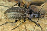 71 Black Beetle top.jpg