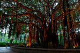 76 Hanging lights in Banyan Tree.jpg