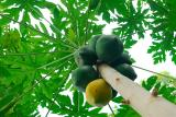 78 Papaya Fruit Tree.jpg
