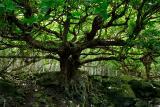 79 Terminalia tree.jpg