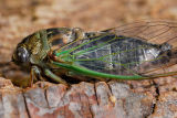 91 Cicada on tree 1.jpg