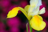 153 Ducth Iris Golden Beauty 3.jpg