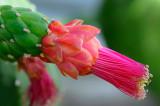 153 Giant Cactus flower.jpg