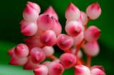 153 Pink Bromeliad berries 2.jpg