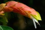 153 Shrimp plant 1.jpg