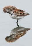 shorebird reflection
