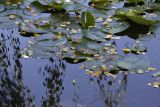 Lily pads catch falling leaves