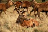 Red and Fallow Deer - Richmond Park 2005