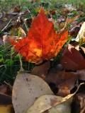 Red Leaf  ~ October 30th
