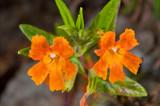Hybrid Mimulus flemingii x longiflorus