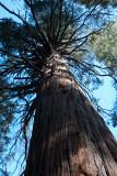 Chap. 8-13, Incense Cedar