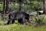 Chap. 8-28, Black Bear