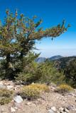 Chap. 8-19, Limber Pine-3