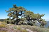 Chap. 8-20, Wind Pruned Limber Pine-7
