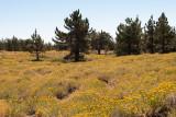 Chap. 8-15, Limber Pine & Rabbit Brush