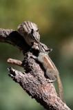 Chap. 8-27, Tamias speciosus-6