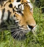 Tiger-300f4+1.4-(5.6(11)_500)-1000).jpg