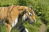 Tiger-300f4+1.4-(5.6(11)_500).jpg