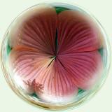 Flower-backlit AC.jpg