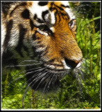 Tiger frac moti.jpg