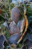 les feuilles gelées