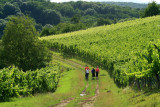 stroll in the vines