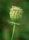 Queen's Ann Lace