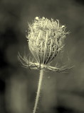 Queen's Ann Lace in B&W