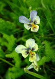 wild pansies of  my Vosges mountains
