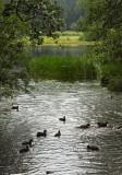 les canards de Retournemer