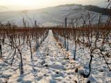 vines under snow