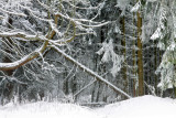 wild winter forest