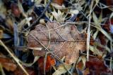 frozen oak leaves.