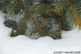Pine Needles In The Snow