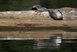 River Tern pair preening