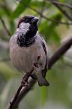 House Sparrow 04