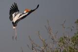 Painted Stork landing