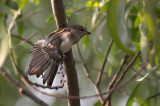 Wing display - House Sparrow