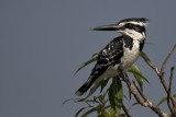The pied King