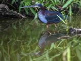 Heron Manu Biosphere-Peru