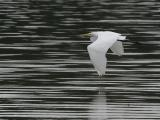 flying egret.jpg